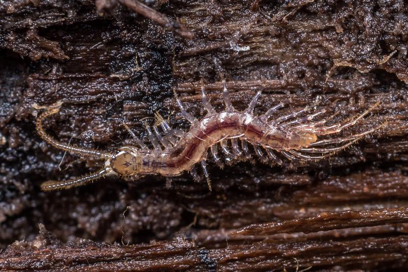 Stone centipede (Order Lithobiomorpha) juvenile. Lake Poteriteri, Fiordland National Park.