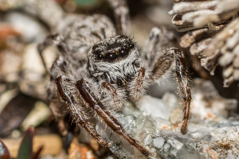Fiordland alpine jumping spider (Family Salticidae, undescribed species). Rugged Mount, Cameron Mountains, Fiordland National Park.