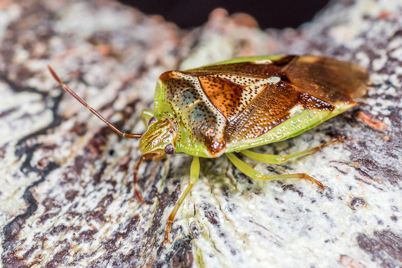 Forest shield bug (Oncacontias vittatus).  Lake Monk, Fiordland National Park.