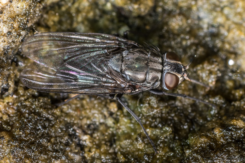 House fly (Muscidae). Westies Cave, Prices Harbour, Fiordland National Park.