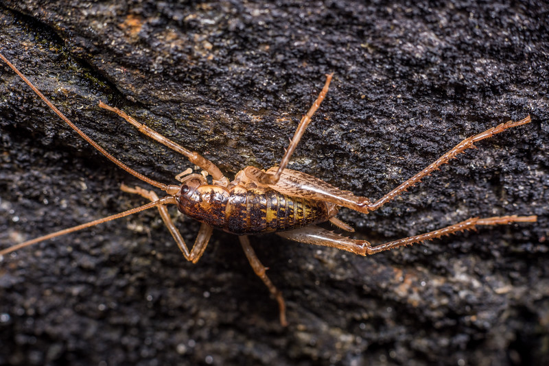 Cave wētā / tokoriro (Pharmacus brewsterensis). Westies Cave, Prices Harbour, Fiordland National Park.