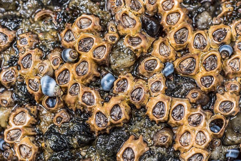 Column barnacles (Chamaesipho columna). Port Craig, Fiordland National Park.