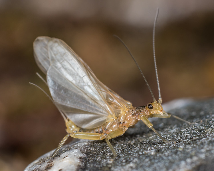 Stonefly (Family Gripopterygidae) in the last stages of its emergence. Lake Poteriteri to Lake Mouat, Fiordland National Park.