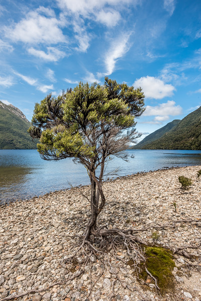 Mānuka (Leptospermum scoparium) tree on the western shore of Lake Poteriteri.