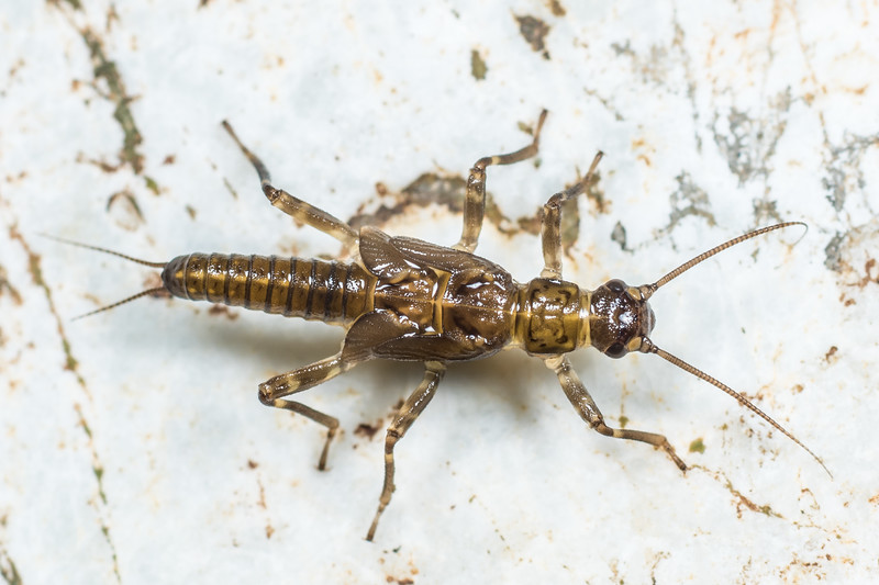 Stonefly (Acroperla trivacuata) nymph. Lake Poteriteri to Lake Mouat, Fiordland National Park.