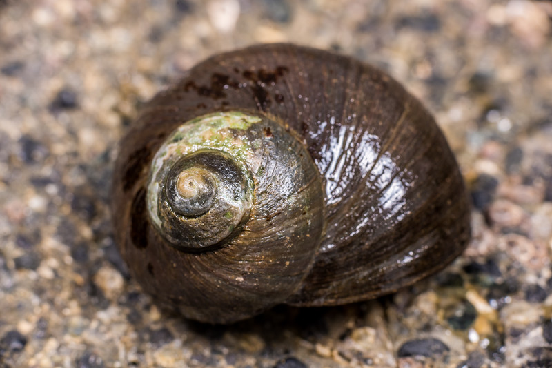 Cat's eye snail (Lunella smaragdus). Port Craig, Fiordland National Park.