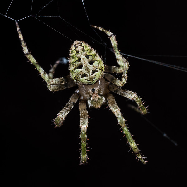 Cryptic orb weaver (Cryptaranea subcompta). Port Craig, Fiordland National Park.