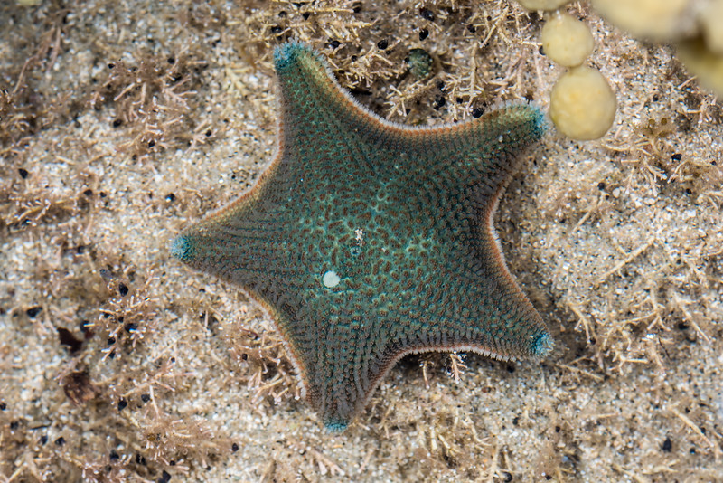 New Zealand common cushion star (Patiriella regularis). Port Craig, Fiordland National Park.