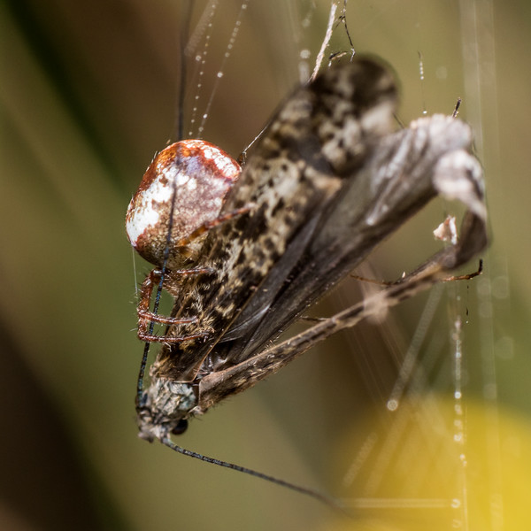 Unidentified orbweaver (Family Araneidae) predating on long-horned caddisfly (Hudsonema amabile). Lake Monk, Fiordland National Park.