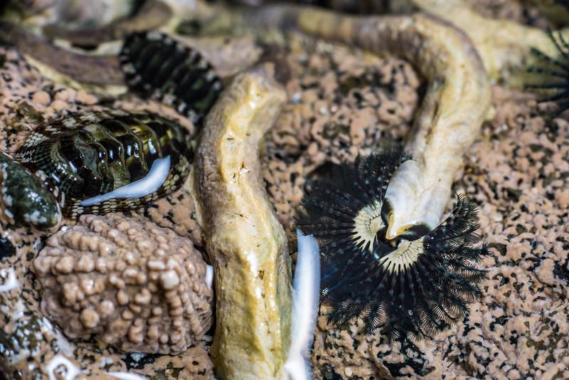 Blue tube worm (Spirobranchus cariniferus), snakeskin chiton (Sypharochiton pelliserpentis) and Patelloida corticata. Port Craig, Fiordland National Park.