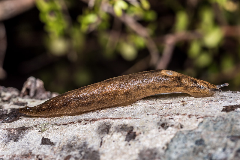Leaf-veined slug (Athoracophorus suteri). Lake Monk, Fiordland National Park.