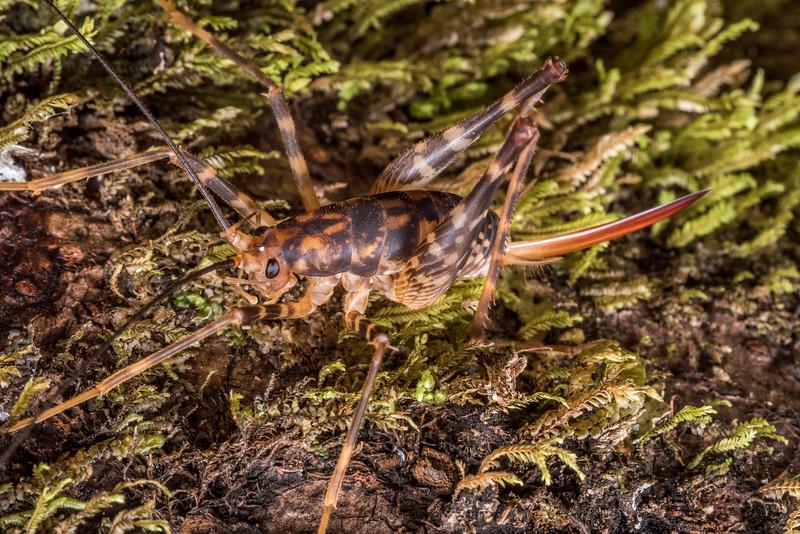 Cave wētā / tokoriro (Miotopus richardsi) female. Three Pointer, Heaphy Track, Kahurangi National Park.
