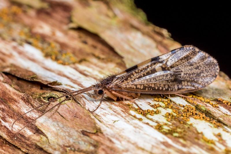 Caddisfly (Oeconesus similis). Flora Hut, Kahurangi National Park.