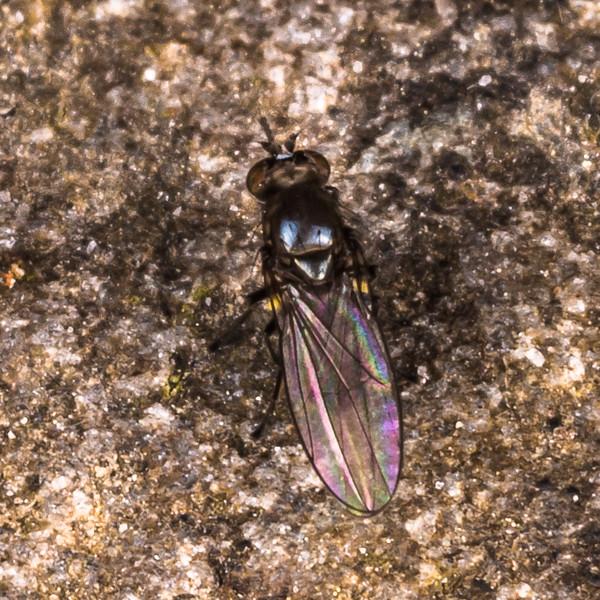 Shore fly (Family Ephydridae). Gouland Downs Hut, Heaphy Track, Kahurangi National Park.