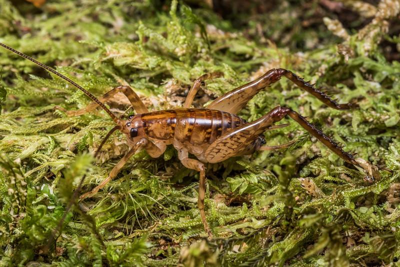 Cave wētā / tokoriro (Talitropsis sedilloti) male. Cave Brook, Gouland Downs, Kahurangi National Park.