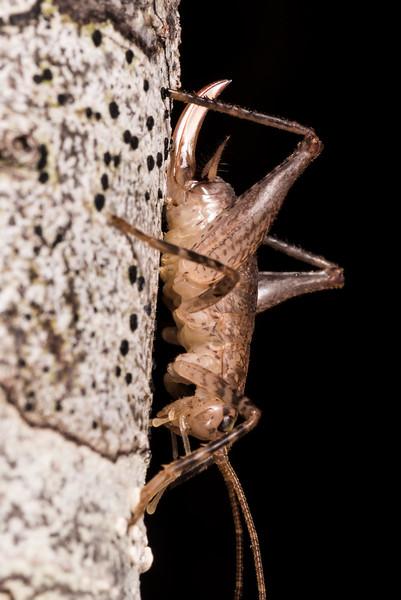 Cave wētā / tokoriro (Isoplectron spp.) female. Cave Brook, Gouland Downs, Kahurangi National Park.