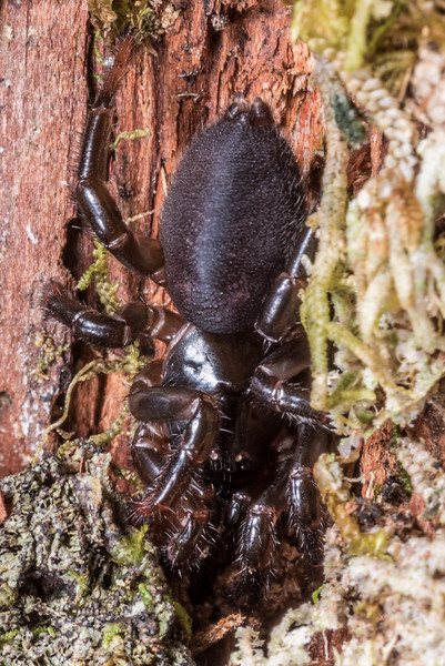 Tree trapdoor spider (Migas spp., probably Migas tasmani, based on geographical distribution). Three Pointer, Heaphy Track, Kahurangi National Park.