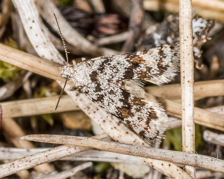 A small moth of the genus Asterivora (probably an undescribed species). Mount Arthur, Kahurangi National Park.