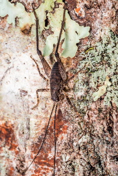 Cave wētā / tokoriro (Isoplectron spp.) male. Cave Brook, Gouland Downs, Kahurangi National Park.