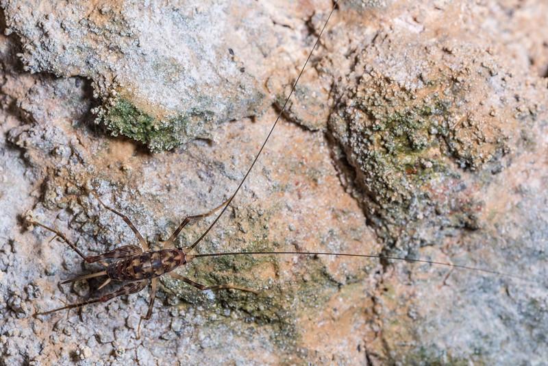 Cave wētā / tokoriro (Miotopus richardsi). Gouland Downs Caves, Heaphy Track, Kahurangi National Park.
