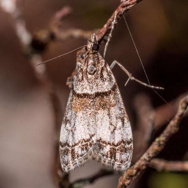 Eudonia choristis, a crambid snout moth (Family Crambidae). Gouland Downs, Heaphy Track, Kahurangi National Park.