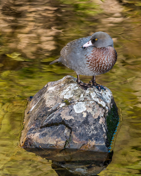 Blue duck / whio (Hymenolaimus malacorhynchos). Cave Brook, Gouland Downs, Kahurangi National Park.