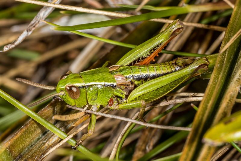 Short-horned grasshopper (Alpinacris crassicauda). Mount Arthur, Kahurangi National Park.