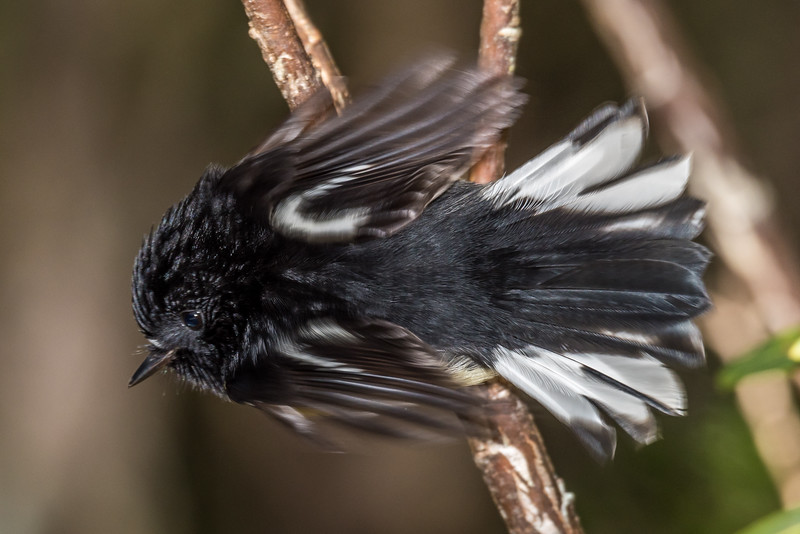 Male tomtit / miromiro (Petroica macrocephala). Perry Saddle Hut, Heaphy Track, Kahurangi National Park.