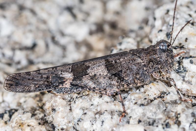 Fontana grasshopper (Trimerotropis fontana). Sentinel Dome, Yosemite National Park, CA.