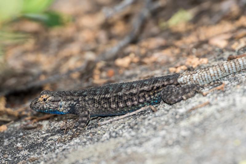 Sierra fence lizard (Sceloporus occidentalis taylori). Taft Point Track, Yosemite National Park, CA.
