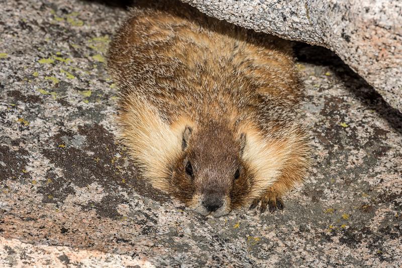 Yellow-bellied marmot (Marmota flaviventris). Half Dome summit, Yosemite National Park, CA.