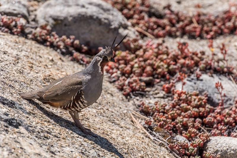 Mountain quail (Oreortyx pictus). Taft Point Track, Yosemite National Park, CA.