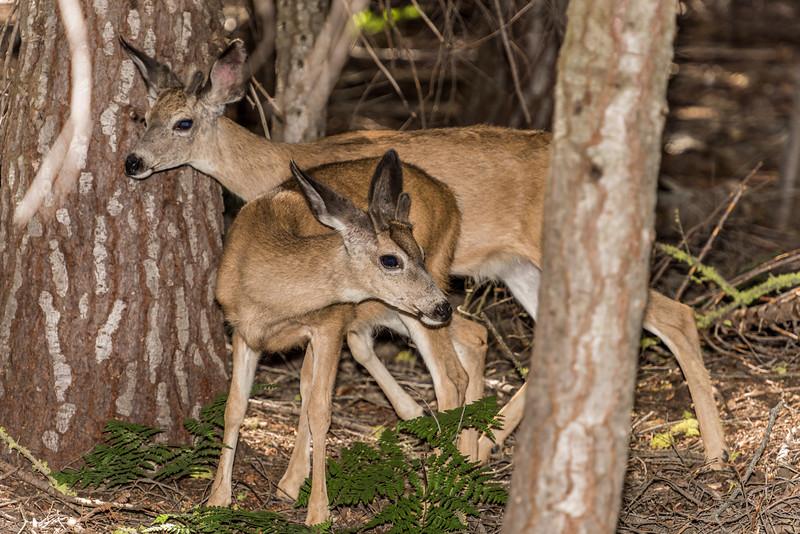 Mule deer (Odocoileus hemionus). Taft Point Track, Yosemite National Park, CA.