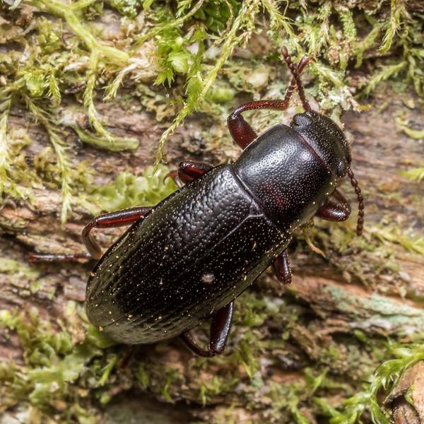 Lichen darkling beetle (Artystona obscura). Thisbe Hut, Catlins Forest.