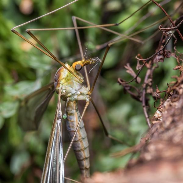Crane fly (Leptotarsus albistigma). McLennan Hut, Catlins Forest.