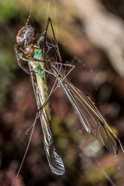 Cave orbweaver (Meta rufolineata) predating on crane fly (Leptotarsus spp.). McLennan Hut, Catlins Forest.
