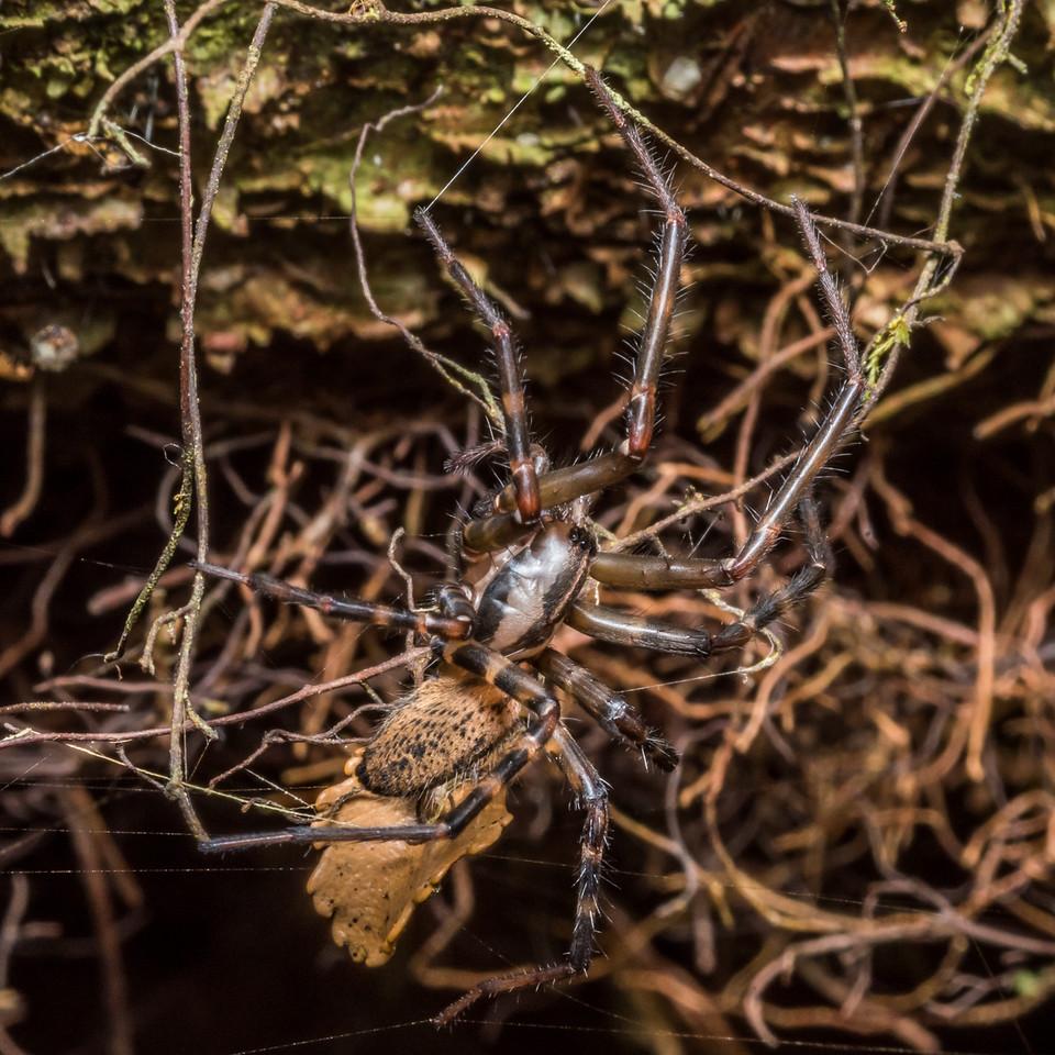 Sheetweb spider (Cambridgea spp.). McLennan Hut, Catlins Forest.
