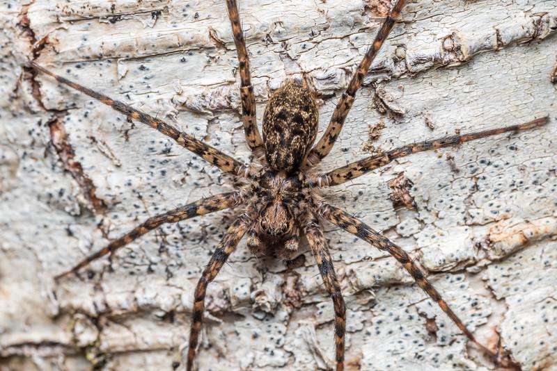 Scuttling spider (Cycloctenus duplex). McLennan Hut, Catlins Forest.