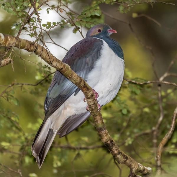 New Zealand wood pigeon / kereru (Hemiphaga novaeseelandiae). Thisbe Stream, Catlins Forest.
