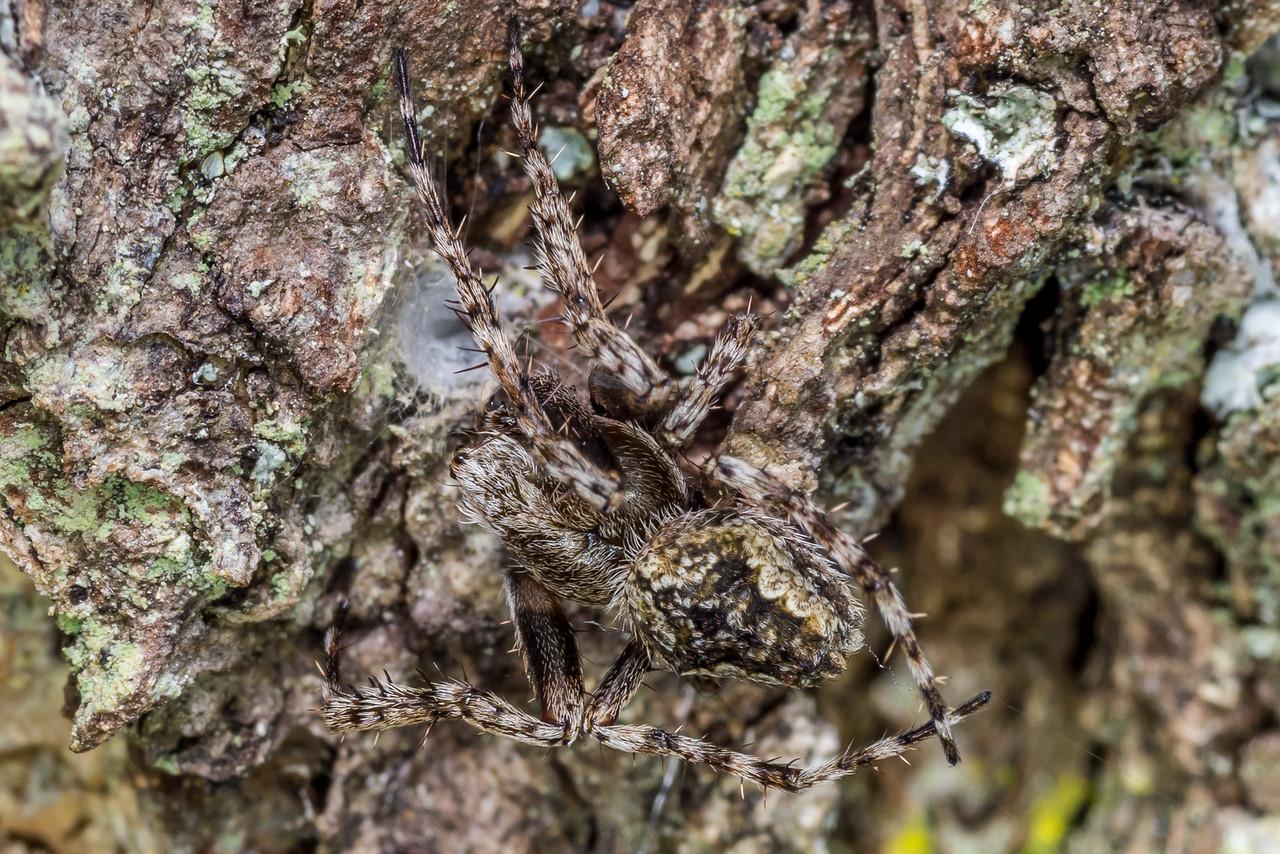 Male garden orbweb spider (Eriophora pustulosa). Thisbe Hut, Catlins Forest Park.