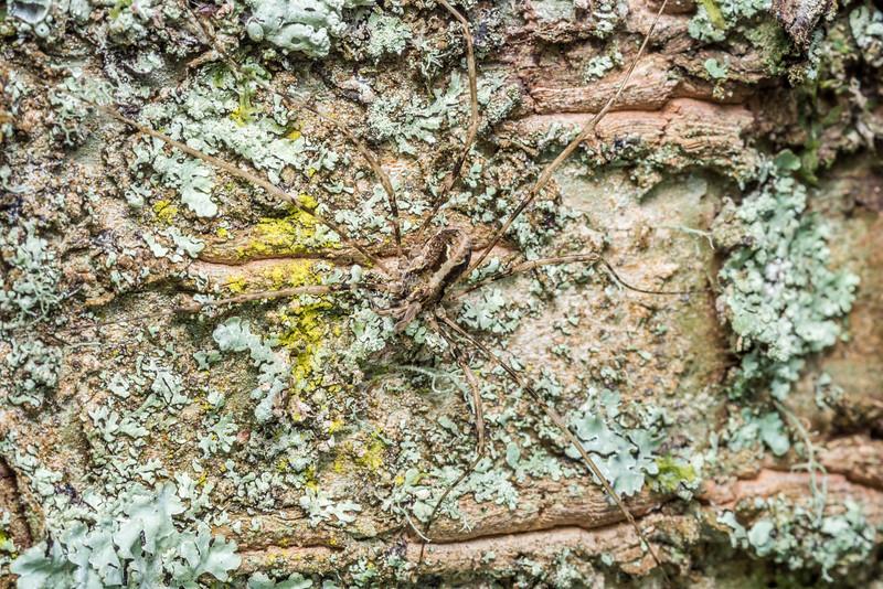 Harvestman (Pantopsalis spp.) female. Thisbe Hut, Catlins Forest.
