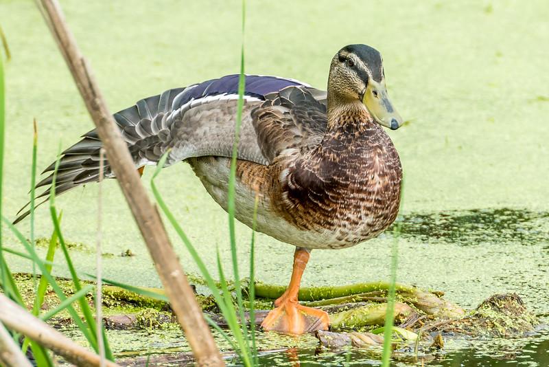 Mallard (Anas platyrhynchos). Fish Lake, Maple Grove, Minnesota.
