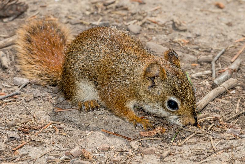 Red squirrel or pine squirrel (Tamiasciurus hudsonicus).  George H. Crosby - Manitou State Park, Minnesota
