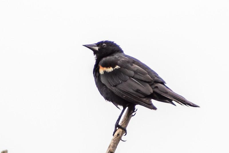 Red-winged blackbird (Agelaius phoeniceus). Fish Lake, Maple Grove, MN.