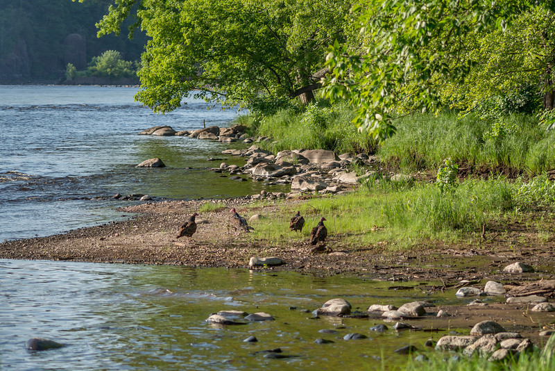 Turkey vultures (Cathartes aura). St Croix River, MN/WI, USA.