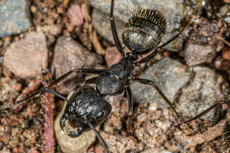 Eastern black carpenter ant (Camponotus pennsylvanicus) - enlarged detail from previous image. George H. Crosby - Manitou State Park, Minnesota
