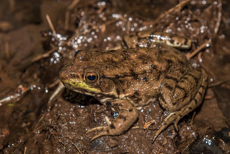 Green frog (Rana clamitans). North Mirror Lake Trail, Porcupine Mountains, Michigan.