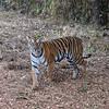 India ..... Bengal Tiger (female) ..... Endangered