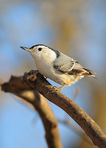 Whtie-breasted Nuthatch