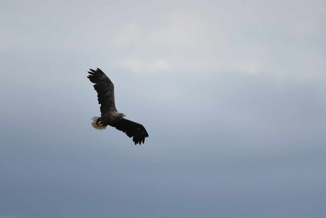 White Tailed Eagle - Power II